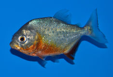 Red Belly Piranha. Red bellied Piranha Pygocentrus natterer on a blue background Royalty Free Stock Photography