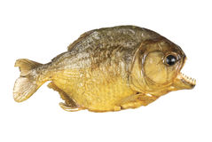 Red Belly Piranha on white background stock image