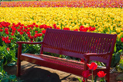 Red bench among tulip fields Royalty Free Stock Photo