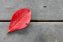 Red bengal almond leaf on wooden floor. Stock Image
