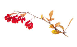 Red berberries branch isolated on white Stock Images