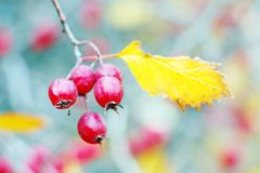 Red berres and a yellow leaf of a tree branch Stock Photos