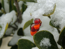Red berrie in a snowy bush.  royalty free stock image