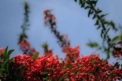 Red Berries. On a beautiful summer day, shot against the clear blue sky royalty free stock photos