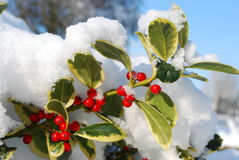 Red berries. Winter scene with red berries covered with snow Royalty Free Stock Images