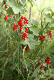 Red berries. On the plant Royalty Free Stock Image