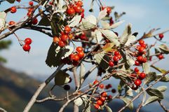 Red berries. On the tree Royalty Free Stock Image