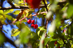 Red berries. Small red berries in a deep fantastic green. photo from park of the city Royalty Free Stock Photo