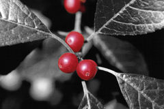 Red berries. Selective color red berries royalty free stock images