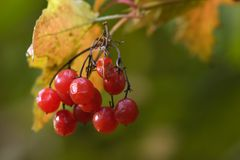 Red berries 2. Red fruits on a tree in november Royalty Free Stock Photo