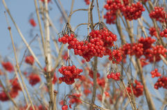 Red berries. Of the viburnum on branch Royalty Free Stock Photography