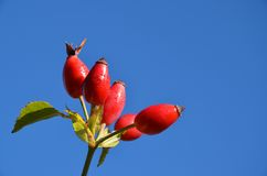 Red berries. Against blue sky stock photos