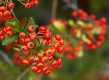 Red berries. Close up of branch with red autumn berries royalty free stock photo