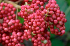 Red berries. A cluster of wild red berries Stock Photo