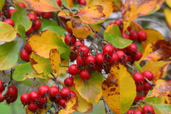Red berries. On a tree during autumn in england Stock Images