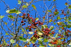 Red berries against blue sky Royalty Free Stock Photo