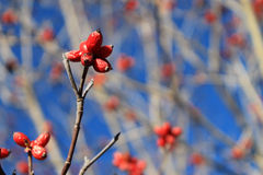 Red berries against blue sky. Red berries against clear blue sky in the winter time Royalty Free Stock Photography