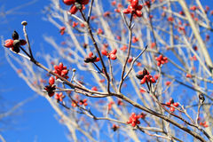 Red berries against blue sky 3. Red berries against clear blue sky in the winter time Stock Images