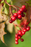 Red berries of arrowwood Stock Photo