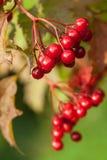 Red berries of arrowwood. Red ripe berries of arrowwood Stock Photo