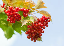 Red berries of arrowwood Stock Photos