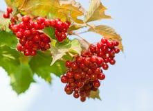 Red berries of arrowwood. Red ripe berries of arrowwood Stock Photos