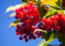 Red berries of arrowwood. On blue sky background - closeup shot Royalty Free Stock Image