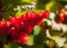 Red berries of arrowwood Stock Photography