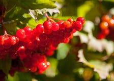 Red berries of arrowwood. Closeup shot Stock Photography
