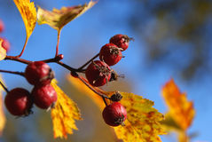Red Berries with Autumn Leaves and Blue Sky. A closeup of red berries (likely Sorbus intermedia) with gold fall leaves and blue sky background. Photographed in stock photo