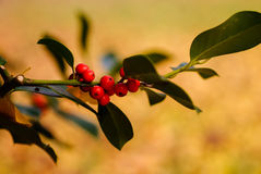 Red berries. Autumn red berries on a tree in local park royalty free stock photos