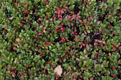 Cowberry bush Royalty Free Stock Image