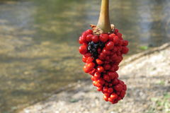 Red berries on a background of a stream Stock Image