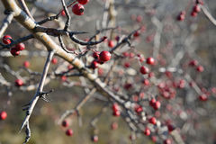Red berries on barbed branch on an autumn background.  Royalty Free Stock Image