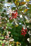 Red berries on barberry bush Berberis. Autumn day.  royalty free stock images