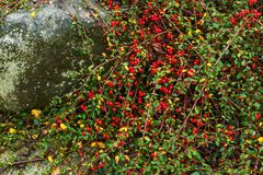 Red berries of barberry on the bush Stock Image