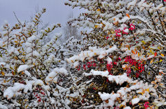 Red berries of barberry bushes  snow covered Royalty Free Stock Photos