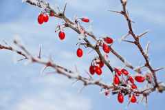 Red berries of barberry covered with hoarfrost. Branch of red berries barberry with spines on blue sky background Stock Photography