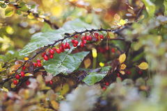 Red berries of barberry Royalty Free Stock Photo