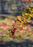 Red berries on barberry shrub. Barberry shrub with red berries and multicolor leaves in late autumn Royalty Free Stock Photography