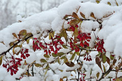 Red berries of barberry under the  fluffy snow Stock Images