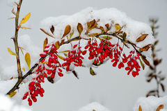 Red berries of barberry under the fluffy snow Stock Photo