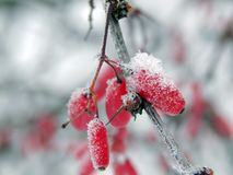 Red berries of barberry in the winter frost Royalty Free Stock Photography