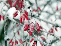 Red berries of barberry in the winter frost Royalty Free Stock Photo