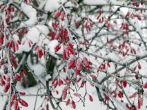 Red berries of barberry in the winter frost Stock Image