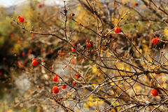 Red berries on a bare autumn tree with blurred colors in background. A bare autumn tree shows off bright red berries against the blurred backdrop of fall colors Royalty Free Stock Photo