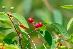 Red berries with beautiful green background royalty free stock photos