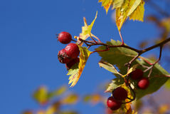 Red Berries Blue Sky. A closeup of red berries (likely Sorbus intermedia) with colorful autumn leaves and blue sky background. Photographed in Finland, October Stock Photo