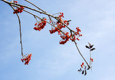 Red berries with blue sky Royalty Free Stock Photos