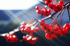 Red Berries and Branch Royalty Free Stock Images